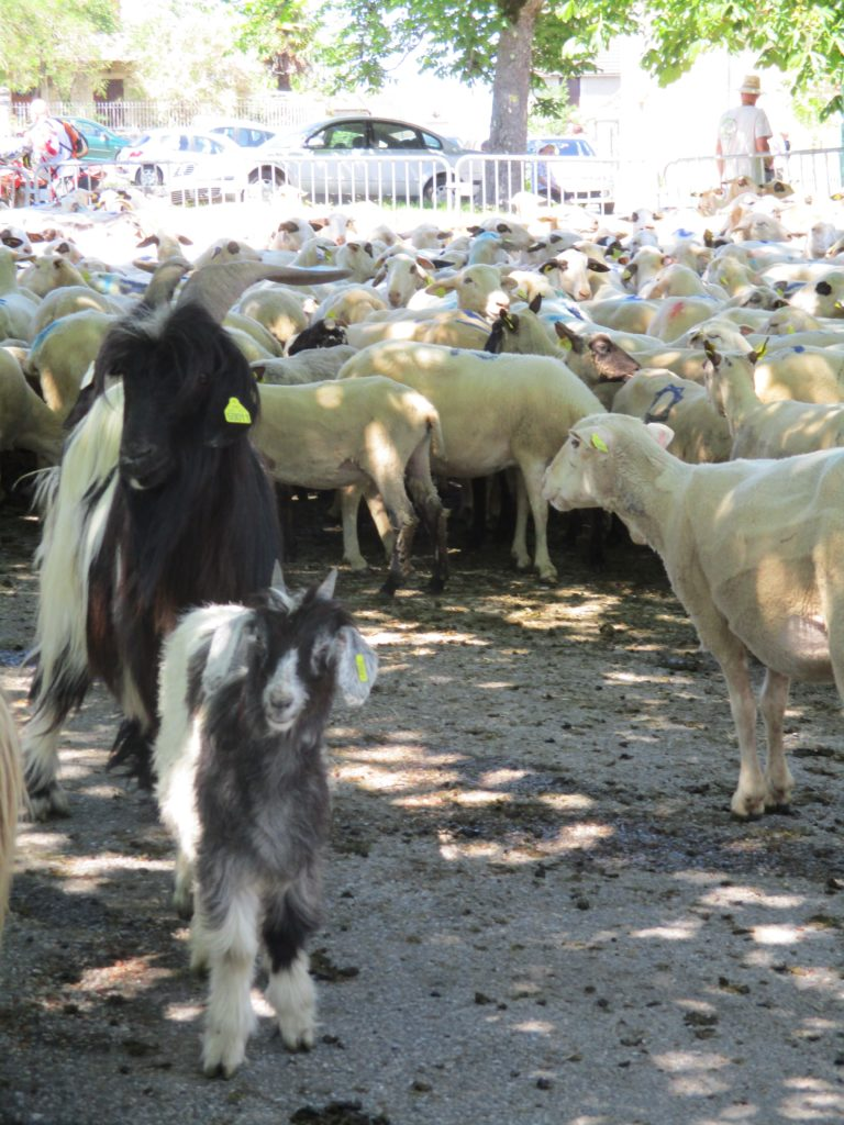 mouton, chèvre, transhumance Lot Cantal